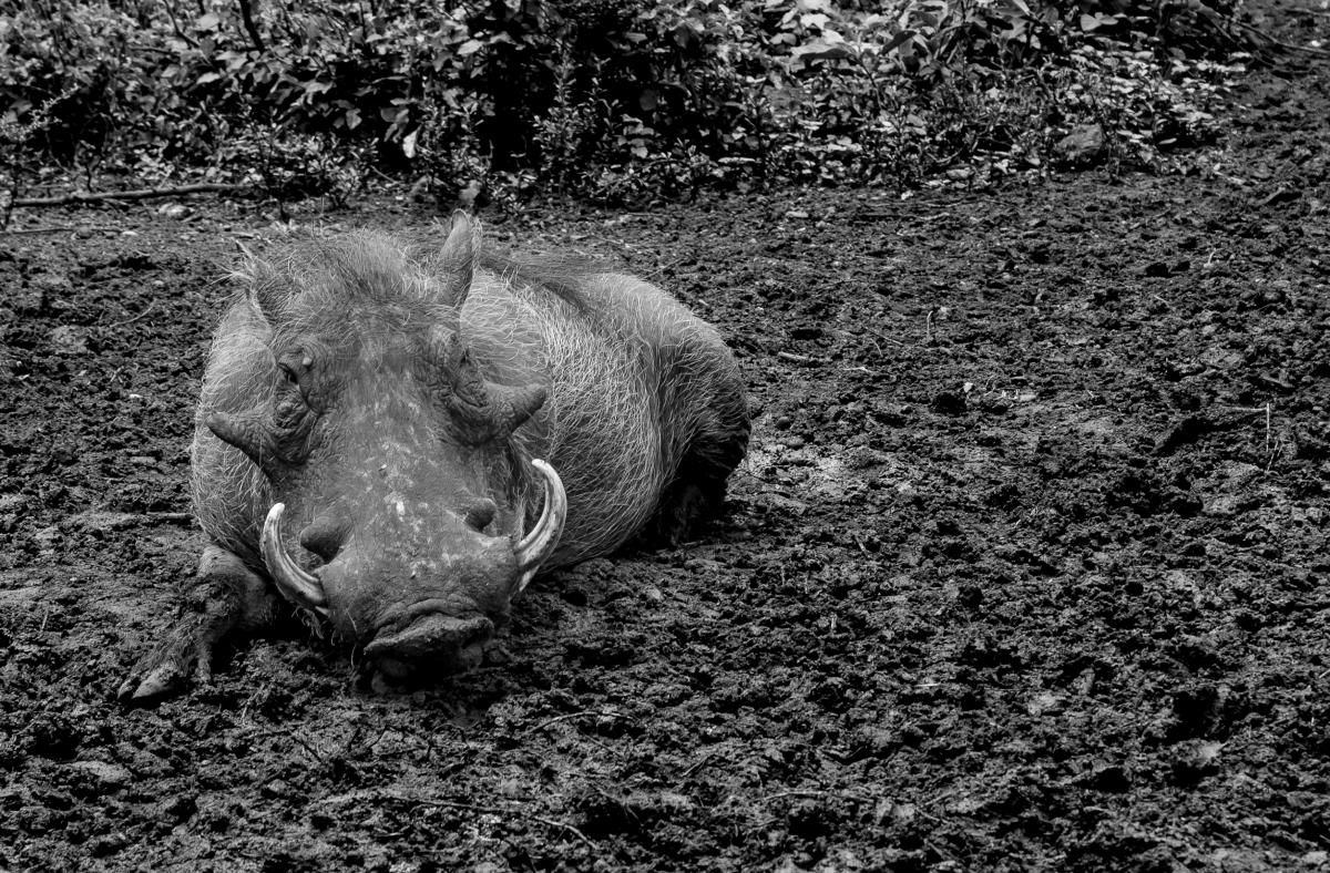 Warthog-08471